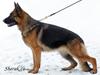 zakázkové fotografování německých ovčáků