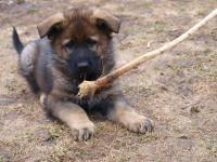 Německý ovčák - vlkošedý pejsek