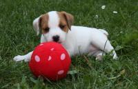 Parson russell terrier – kvalitní štěňátka s PP