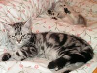Britská mramorovaná koťátka s PP