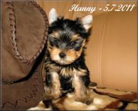 yorkshire terrier - pejsek s PP
