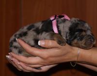 Beauceron - štěně prodej 2011