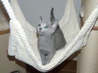 Ruská modrá koťátka s PP