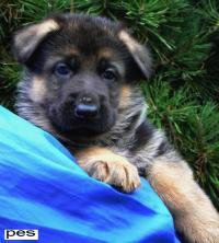 německý ovčák ,nádheré štěně pes