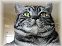 Britská mramorovaná kočka