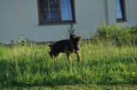 Německý ovčák s PP - štěně pejska