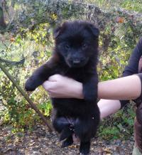 CHS z Meridolu prodá štěně fenu NO s PP Vrh -D- ze spojení