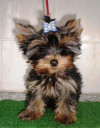 yorkshire terrier s PP