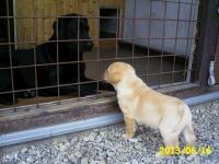 Labradorský retriever žlutá štěňata s PP