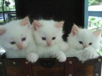 rozkošný muž žena ragdoll koťata k přijetí hledají krásné a starostlivá domů