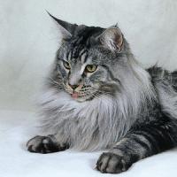 Mainská mývalí kočka s PP