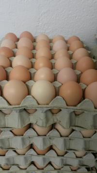 NOVÁ CENA - Násadová vejce do líhně - AKCE -50%