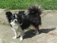 ČIVAVA DLOUHOSRSTÁ - hledám psa na krytí