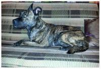 ztracený pes křížence staforda