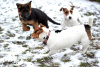 Jack Russell a Parson Russell teriérky