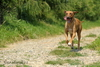 rhodéský ridgeback Eilla