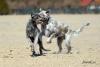 vlkodaví coursing