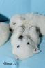lední medvědi